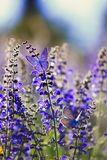 Background with two small bright blue butterfly Blues sitting on purple flowers in summer Sunny day on a rural meadow. Natural background with two small bright stock photo