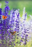 Natural background with two small bright orange butterfly Blues sitting on purple flowers in summer Sunny day on a rural meadow. Background with two small bright stock photo