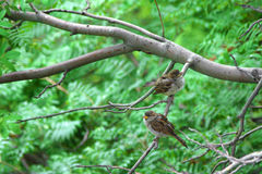 Natural background. Two sparrows sitting on a branch of rowan Stock Photos