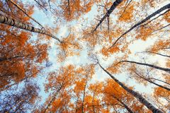 Natural background view of the bottom of the tops of the trees stretch to the blue sky with yellow and red bright leaves in the royalty free stock photos