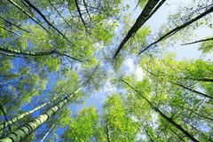 natural background view of the crowns and the tops of birch trees stretch to the blue clear sky with bright green young royalty free stock images