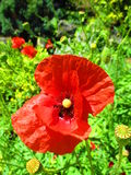 Natural background. View of a natural background made of some red poppies Royalty Free Stock Image