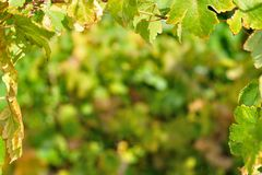 Natural background with vine leaves Royalty Free Stock Photography