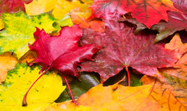 Natural background of wet maple leaves Royalty Free Stock Photography