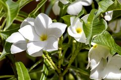 Natural background with white plumeria flowers close up in the garden of exotic tropical flora. White plumeria flowers close up : beautiful nature background stock photos
