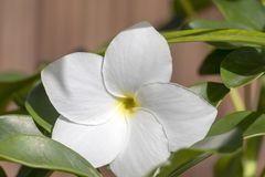 Natural background with white plumeria flowers close up in the garden of exotic tropical flora. White plumeria flowers close up : beautiful nature background royalty free stock photos