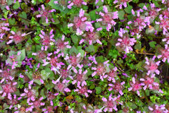 Natural background of wild grass dead-nettle purple, top view Stock Images
