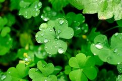 Free Natural Background With Shamrock Clover Under Dew Drops. Shamrock Symbol Of Luck Royalty Free Stock Images - 151499479