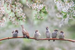 Free Natural Background With Small Birds On A Branch White Cherry Blossoms In The May Garden Royalty Free Stock Photography - 169312747