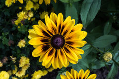 Natural background with yellow asters Royalty Free Stock Images