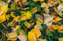 Natural background of yellow autumn leaves Stock Image