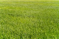 Natural background of young rye. Fragment of green field Stock Image