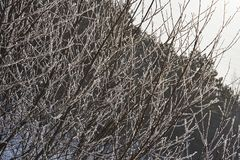Natural background of young tree branches in winter, covered with hoarfrost in the rays of the winter sun. Hoarfrost on branches g Stock Photos