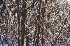 Natural background of young tree branches in winter, covered with hoarfrost in the rays of the winter sun. Hoarfrost on branches g Royalty Free Stock Images