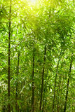 Natural bamboo forest Stock Image