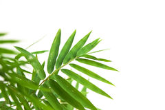 Natural bamboo green leaf Royalty Free Stock Images