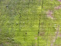 Natural barn wood wall covered with green moss or lichen background Stock Images