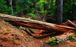 Natural Barricade. Fallen tree over the trail in Hackleman Old Growth Forest - Central Oregon stock photos