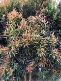 Syzygium Oleana in My Garden royalty free stock photography