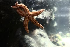 Wildlife starfish posing crossing legs at aquarium royalty free stock photography