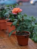 Natural beautiful rose flower in pot on wooden table Royalty Free Stock Image
