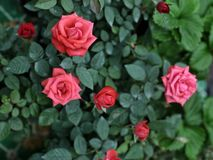 Close up natural Beautiful roses in garden. Natural beautiful roses in garden Royalty Free Stock Image