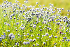 Natural beautiful small flower grass. Natural beautiful small flower grass with blures background stock images