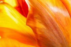 Natural beautiful tulip background Stock Photography