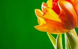 Natural beautiful tulip on green background Stock Photos