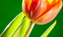Natural beautiful tulip on green background Royalty Free Stock Photography