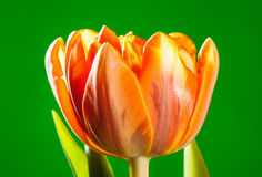 Natural beautiful tulip on green background Royalty Free Stock Photos
