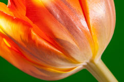 Natural beautiful tulip on green background Stock Photography