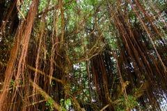 Natural beautiful under banyan tree. Natural color beautiful under banyan tree Royalty Free Stock Image