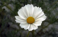 Natural Beautiful White Cosmos Flower Detail stock photos