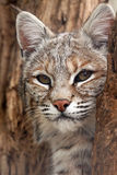Natural Beauty. Closeup of a Bobcat laying in a dead tree Stock Images