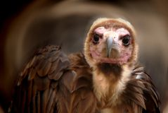 Natural beauty. Birds of prey. Close-up of vulture head (Torgos tracheliotus royalty free stock image