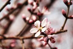 Flowering peach stock images