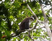 Red tailed Monkey Kibale National Park Western Uganda near Fort Portal stock photography