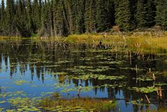 Alaska- Beautiful Reflections in a Lily Pond- Wrangell royalty free stock photo