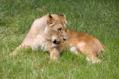 African lioness grooming. Natural behaviour of young female African lioness stock image