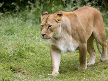 Female African lioness royalty free stock photos