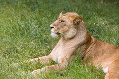 Profile African lioness Royalty Free Stock Images