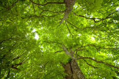 Natural Big Tree Ceiling Stock Photos