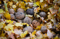 Natural bio nuts in nature Royalty Free Stock Photo