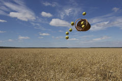 Natural blessings. Basket with apples thrown above the field with blue sky on the back Royalty Free Stock Images
