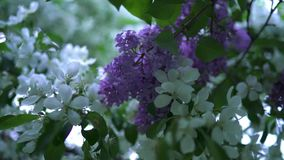 Natural blooming white Apple tree with green leaves. Stock footage. Beautiful branches of apple blossoming white flowers. In contact with purple bunch of lilacs stock video