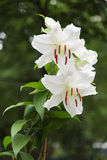 Natural blooming white lily flowers Stock Image