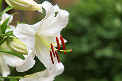 Natural blooming white lily flowers royalty free stock photo