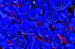 Natural blue roses Royalty Free Stock Photos