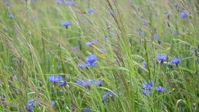 Natural blue wild cornflowers bluet flowers meadow in wind stock footage